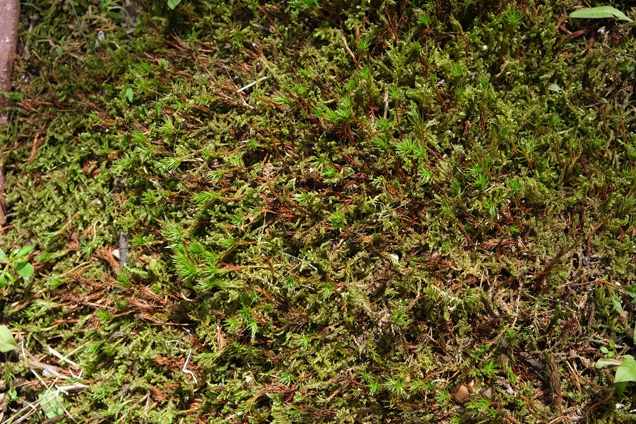 一関のレストラン テラスロンドの庭の杉苔のアップ風景写真